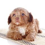与一朵玫瑰的小狗在地毯 免版税图库摄影