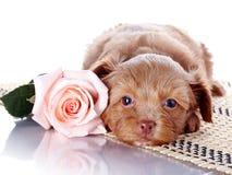 与一朵玫瑰的小狗在地毯 免版税库存图片