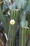 与一朵白色开花的castus花的仙人掌 库存照片