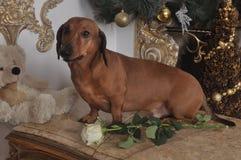 与一朵白色玫瑰和玩具的达克斯猎犬狗 库存图片