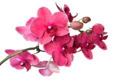与一朵红色兰花的花的一个分支 库存照片