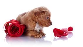 与一朵红色玫瑰和瓣的小狗 库存图片