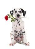与一朵红色玫瑰的浪漫达尔马希亚小狗在他的嘴 图库摄影