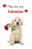 与一朵红色玫瑰的金毛猎犬小狗和您是我的华伦泰 免版税图库摄影