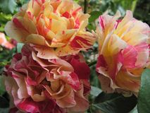 与一朵美丽的花布什的装饰背景纹理的宏观照片分类了从玫瑰花瓣的明亮的黄色和桃红色颜色 库存图片