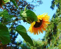 与一朵美丽的花的装饰背景纹理的宏观照片与向日葵草本植物的黄色瓣的 库存图片