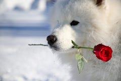 与一朵花的狗在他的嘴 免版税库存图片