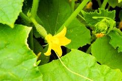 与一朵花的黄瓜在叶子中在太阳的光芒的下庭院里 种植在农场的菜 库存照片