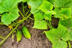 与一朵花的黄瓜在叶子中在太阳的光芒的下庭院里 免版税库存照片