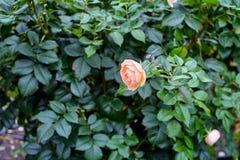与一朵苍白红色桃红色玫瑰的美丽的灌木在庭院里 免版税库存照片