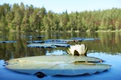 与一朵荷花花的夏令时场面在湖 库存图片