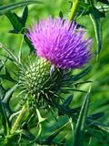 与一朵装饰背景纹理多刺的狂放的蓟花的宏观照片与紫色瓣 免版税库存图片