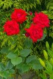 与一朵豪华的美丽的红色玫瑰和绿色叶子的花的灌木在一个散布的词根 库存图片