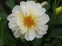 与一朵黄色中心大丽花的白色是花,著名为使目炫秀丽,激发激情并且推挤在疯狂的行动 库存图片