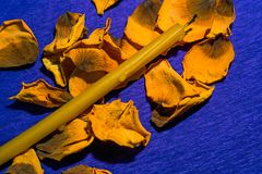 与一朵黄色玫瑰的凋枯的瓣的教会蜡烛在紫罗兰的 免版税图库摄影