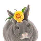 与一朵黄色玫瑰的灰色兔子 库存照片