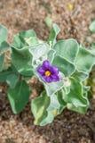 与一朵紫色花的加州弗瑞蒙木在Ga国王Park和植物的 库存照片