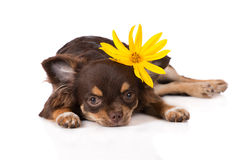 与一朵黄色花的奇瓦瓦狗小狗 库存图片