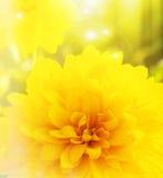 与一朵黄色花的明亮的背景 免版税图库摄影