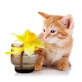 与一朵黄色花的红色镶边小猫。 库存图片