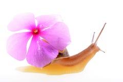 与一朵紫色花的蜗牛 免版税库存图片