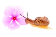与一朵紫色花的蜗牛 库存照片