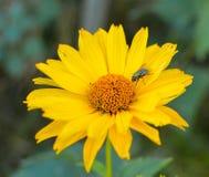 与一朵黄色花的飞行 库存图片