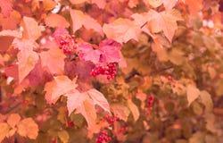 与一束的秋天背景红色花揪 库存图片