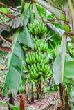 与一束的香蕉树生长香蕉 免版税库存照片