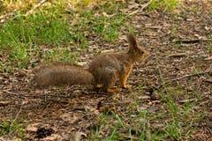 与一条分蘖性尾巴的野生红松鼠在森林 免版税库存照片