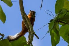 与一条分蘖性灰色尾巴的红松鼠 库存照片