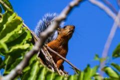 与一条分蘖性灰色尾巴的红松鼠 免版税库存图片