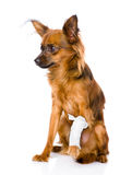 与一条受伤的腿的俄国玩具狗 在白色 免版税库存图片