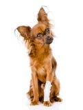 与一条受伤的腿的俄国玩具狗 在白色 免版税库存照片