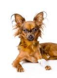 与一条受伤的腿的俄国玩具狗 查出在白色 库存照片