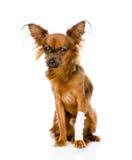 与一条受伤的腿的俄国玩具狗 隔绝在白色backg 库存图片