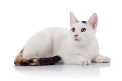 与一条多彩多姿的镶边尾巴的白色家猫说谎 免版税库存照片