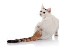 与一条多彩多姿的镶边尾巴的白色家猫 免版税库存图片