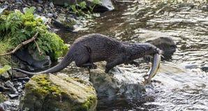 与一条好的大小的鳟鱼的水獭 免版税图库摄影