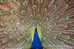 与一条宽尾巴的一个孔雀 免版税库存照片