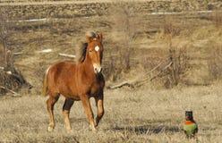 与一条小棕色狗的红色马 免版税库存照片