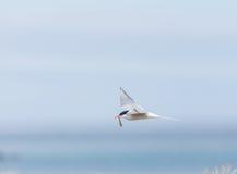 与一条新近地被抓的鱼,西部海湾,冰岛的北极燕鸥 免版税库存图片