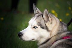 与一条桃红色项链的一条多壳的狗 免版税库存图片