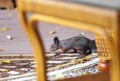 与一条毛茸的尾巴的灰鼠嗅在游廊的一片黄色叶子 免版税库存照片