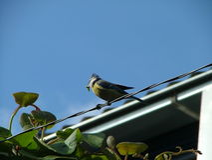 与一条毛虫的蓝冠山雀在他的嘴 免版税图库摄影