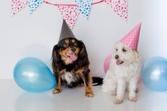 与一条男性骑士发怒狗的小马耳他十字形母狗与党帽子和气球 免版税库存图片