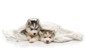 与一条白色毯子的逗人喜爱的小狗 免版税库存图片