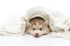 与一条白色毯子的逗人喜爱的小狗 库存图片