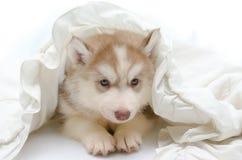 与一条白色毯子的逗人喜爱的小狗 图库摄影