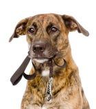 与一条皮带的混杂的品种狗在他的嘴 查出在白色 图库摄影